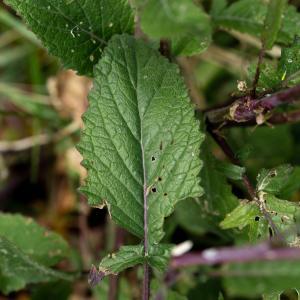 Photographie n°2301355 du taxon Hirschfeldia incana (L.) Lagr.-Foss. [1847]