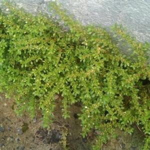 - Pilea microphylla (L.) Liebm.