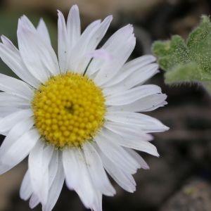 Photographie n°2301580 du taxon Bellis perennis