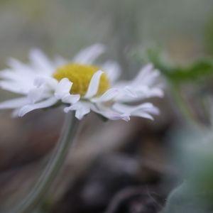 Photographie n°2301581 du taxon Bellis perennis