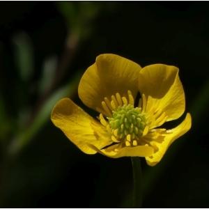 Photographie n°2301621 du taxon Ranunculus bulbosus L. [1753]