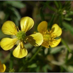 Photographie n°2301623 du taxon Ranunculus bulbosus L. [1753]
