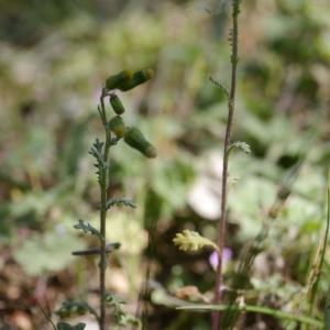 Photographie n°2301633 du taxon Jacobaea erucifolia (L.) G.Gaertn., B.Mey. & Scherb. [1801]