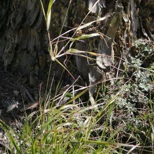 Photographie n°2301772 du taxon Agrostis canina L. [1753]