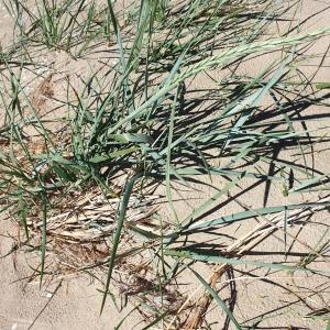 Photographie n°2301913 du taxon Leymus arenarius (L.) Hochst.