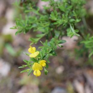Photographie n°2301995 du taxon Genista pilosa subsp. pilosa