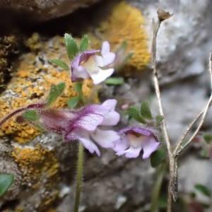 Photographie n°2302206 du taxon Chaenorhinum origanifolium (L.) Kostel. [1844]
