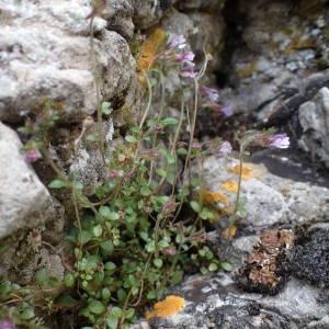 Photographie n°2302209 du taxon Chaenorhinum origanifolium (L.) Kostel. [1844]