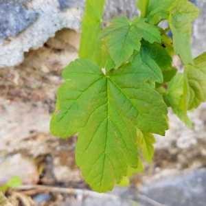 Photographie n°2302367 du taxon Acer pseudoplatanus L.