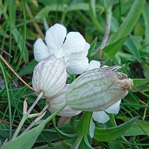 Photographie n°2302957 du taxon Silene vulgaris subsp. maritima (With.) Á.Löve & D.Löve [1961]
