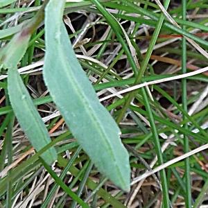 Photographie n°2302958 du taxon Silene vulgaris subsp. maritima (With.) Á.Löve & D.Löve [1961]