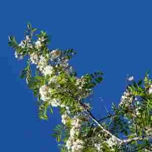 Photographie n°2303077 du taxon Robinia pseudoacacia L.