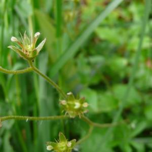 Photographie n°2303428 du taxon Saxifraga granulata L.