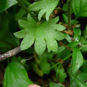 Photographie n°2303431 du taxon Saxifraga granulata L.