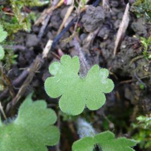 Photographie n°2303432 du taxon Saxifraga granulata L.