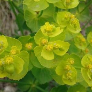 - Euphorbia serrata L. [1753]