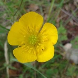 Photographie n°2303438 du taxon Ranunculus bulbosus L. [1753]
