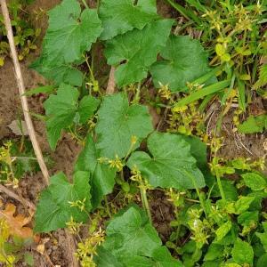 Photographie n°2303724 du taxon Bryonia dioica Jacq. [1774]