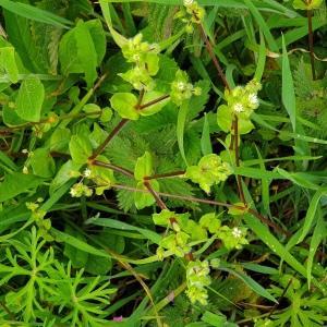 Photographie n°2303725 du taxon Stellaria media (L.) Vill. [1789]