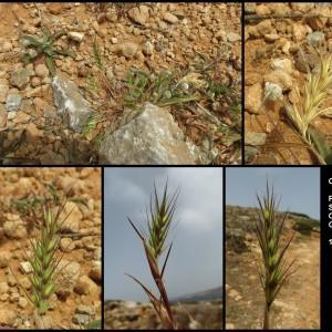 Photographie n°2303740 du taxon Crithopsis delileana