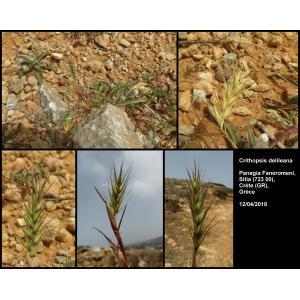 Crithopsis delileana (Schult.) Roshev.
