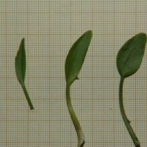 Photographie n°2303754 du taxon Ranunculus ophioglossifolius Vill. [1789]