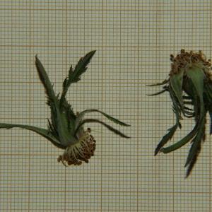 Photographie n°2303774 du taxon Rosa agrestis Savi [1798]