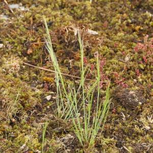 Photographie n°2303890 du taxon Vulpia unilateralis (L.) Stace [1978]