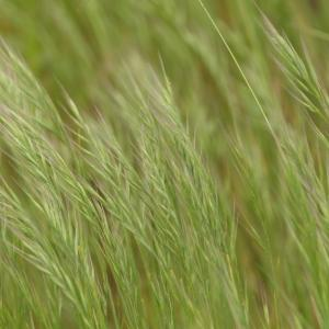 Photographie n°2303891 du taxon Vulpia unilateralis (L.) Stace [1978]