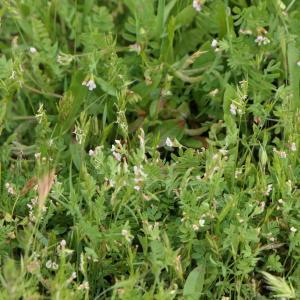 Photographie n°2303899 du taxon Ornithopus perpusillus L. [1753]