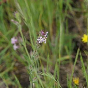 Photographie n°2303901 du taxon Silene gallica L. [1753]