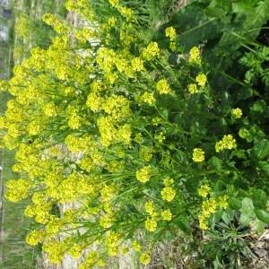 Photographie n°2304206 du taxon Barbarea vulgaris R.Br.