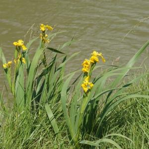 Photographie n°2304235 du taxon Iris pseudacorus L. [1753]