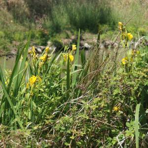 Photographie n°2304236 du taxon Iris pseudacorus L. [1753]