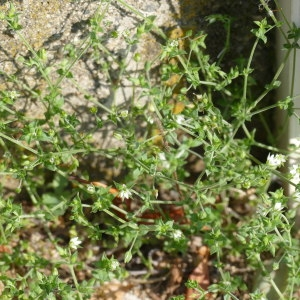 Photographie n°2304302 du taxon Arenaria serpyllifolia L. [1753]