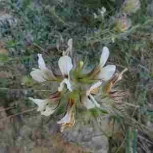 Photographie n°2304361 du taxon Lotus hirsutus L. [1753]