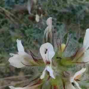 Photographie n°2304362 du taxon Lotus hirsutus L. [1753]