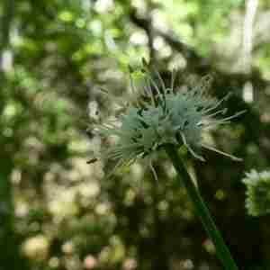 Photographie n°2304433 du taxon Sanicula europaea L.