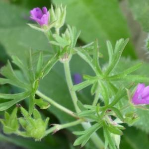 - Geranium dissectum L.