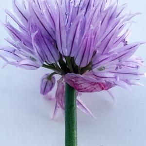 Photographie n°2304731 du taxon Allium schoenoprasum L.