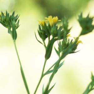 Photographie n°2304910 du taxon Linum strictum L.