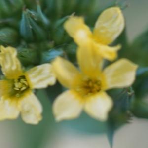Photographie n°2304911 du taxon Linum strictum L.