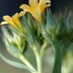Photographie n°2304913 du taxon Linum strictum L.