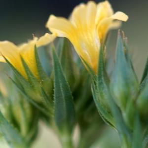 Photographie n°2304915 du taxon Linum strictum L.