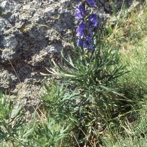 Photographie n°2305013 du taxon Dicotyledones Vraies Superieures