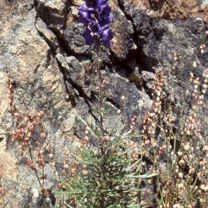 Photographie n°2305020 du taxon Dicotyledones Vraies Superieures