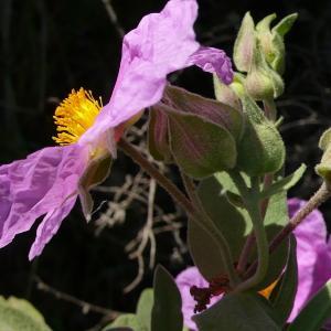 Photographie n°2305060 du taxon Cistus albidus L. [1753]