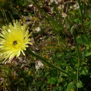 Photographie n°2305061 du taxon Urospermum dalechampii (L.) Scop. ex F.W.Schmidt [1795]