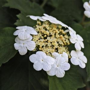 Photographie n°2305107 du taxon Viburnum opulus L. [1753]