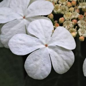 Photographie n°2305110 du taxon Viburnum opulus L. [1753]